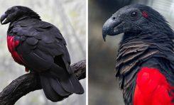 یکی از وحشتناکترین پرندگان؛ طوطی دراکولا / تصاویر