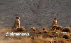 🔺مشاهده دو قلاده یوزپلنگ آسیایی در پارک ملی توران واقع در استان سمنان