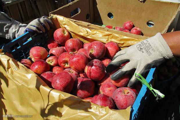 ۱۶ هزارتن سیب از آذربایجان غربی به خارج از کشور صادر شد